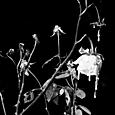 ghost garden rose