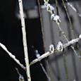 snowy catkins
