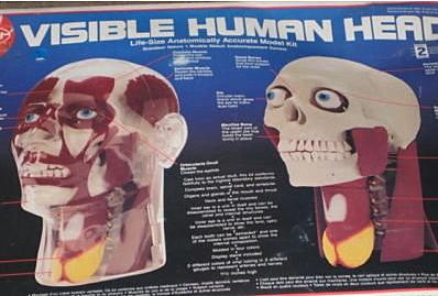 Visible head