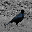 a brewer's blackbird
