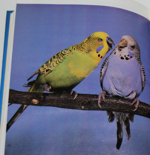 The joy of budgerigars 4