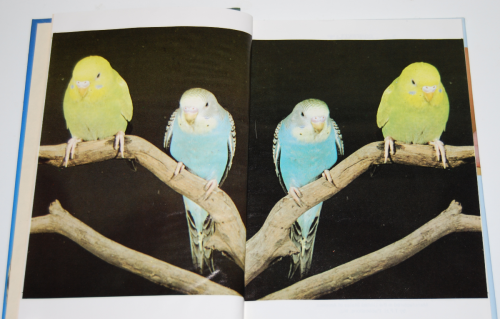 The joy of budgerigars 1