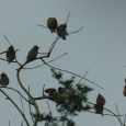 backyard warblers
