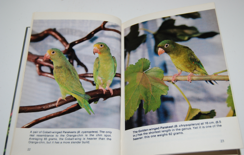 Grey cheeked parakeets 3