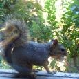 window squirrel